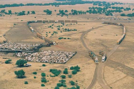 cattle in australia 2