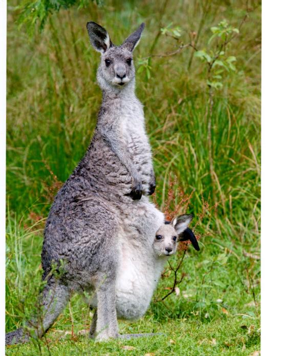 Kangaroo003